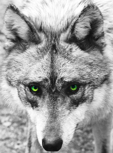 green eyed wolf   Wolf love, Wolf, Beautiful wolves