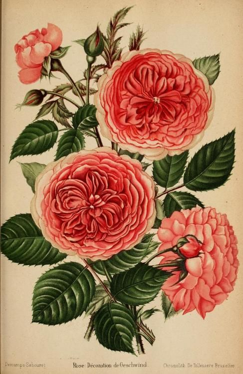 """Rose: Decoration de Geschwind. Plate from """"Journal des Roses"""" (1894). Biodiversity Heritage Library http://archive.org/stream/journaldesroses1820pari#page/n7/mode/2up"""