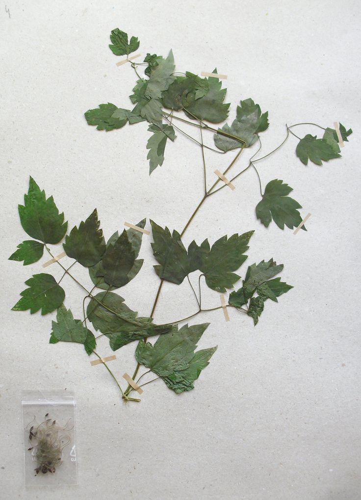 Clematis vitalba Ranunculaceae Ranunculales