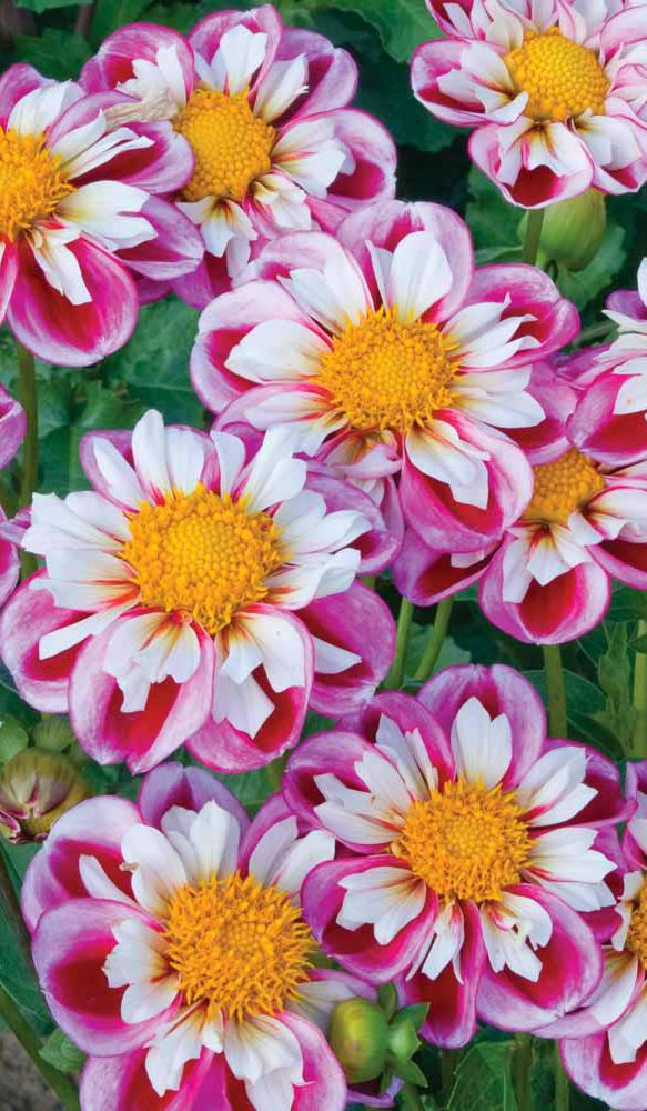 "~~Dahlia 'Royal Bumble' | the white outer petals of this striking variety look as they have been painted from base to tip with rich purple. A collar of smaller white petals surrounds the deep yellow center making this collarette dahlia a magnet for bees! The bushy compact habit of Dahlia 'Royal Bumble' makes it great for patio containers, or sunny beds and borders. Height: 35"". Spread: 18"" 