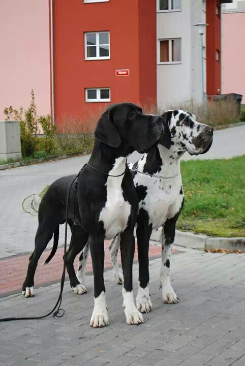 Great Dane beauties.
