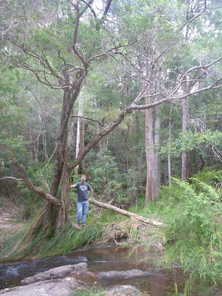 Lemon Tea Tree (Leptospermum petersonii) at Minyon Falls, 30 kms west of Byron Bay.