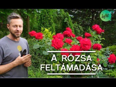 Hogyan kell metszeni a rózsát nyáron? – videó - NLCafé