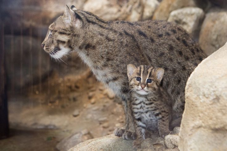 Fishing Cat Cub Is a First for Denver Zoo