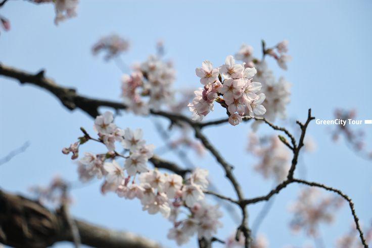 벚꽃과 유채꽃이 피면서 제주는 이뻐지고 있습니다.  봄이왔구려~! 님이오셨어요.  제주여행커뮤니티카페 http://cafe.naver.com/yeraejeong  #제주도여행사 #제주그린시티 #사진 #풍경 #맞팔 #소통 #follow #봄사진 #여행스타그램