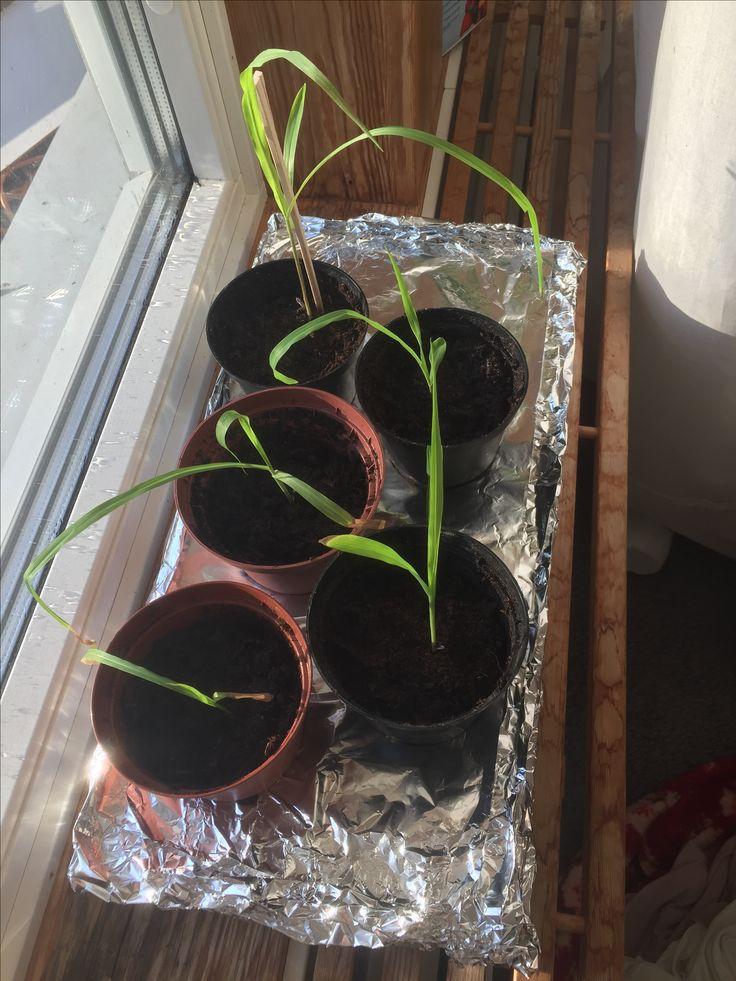 Popcornmajsen omplanterade. 5v efter sådd.