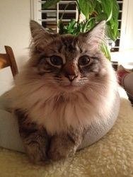 Brooke - Elk Grove, CA is an adoptable Ragdoll Cat in Davis, CA. Brooke: 4 year Old Female Lynx Point Ragdoll Courtesy Post   Purebreds Plus Cat Rescue is helping facilitate the adoption of this cat. ...