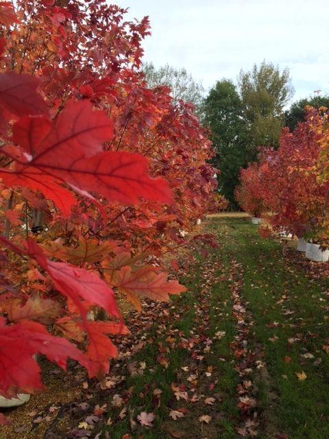 Acer freemanii Autumn Blaze, certainly lives up to its name #autumn #red #orange