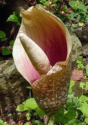 13 best images about Flores de Nepal on Pinterest | Posts ...