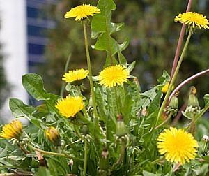 Poison ivy and weed killer - homemade - need to try this!   Ok so I tried this, it works great on dandelions and clovers, but it did not work on poison. I even went over the poison a second time. Kinda bummed! It does work great for dandelions though, they were dead within 2 hours!