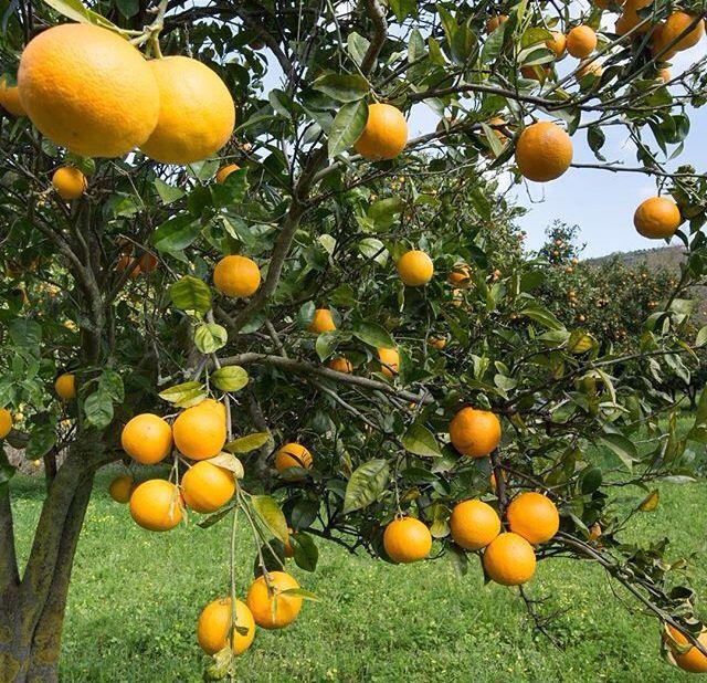 Pé de laranja