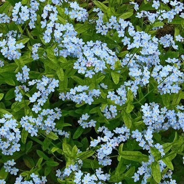 Myosotis sylvatica 'Victoria Blue' | Forglemmigej, Skov- 'Victoria Blue'Myosotis sylvatica