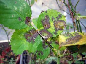 Le marsonia, ou maladie des taches noires, est une maladie cryptogamique du rosier, causée par un champignon. Symptômes, dégâts et conseils de prévention et de traitement.
