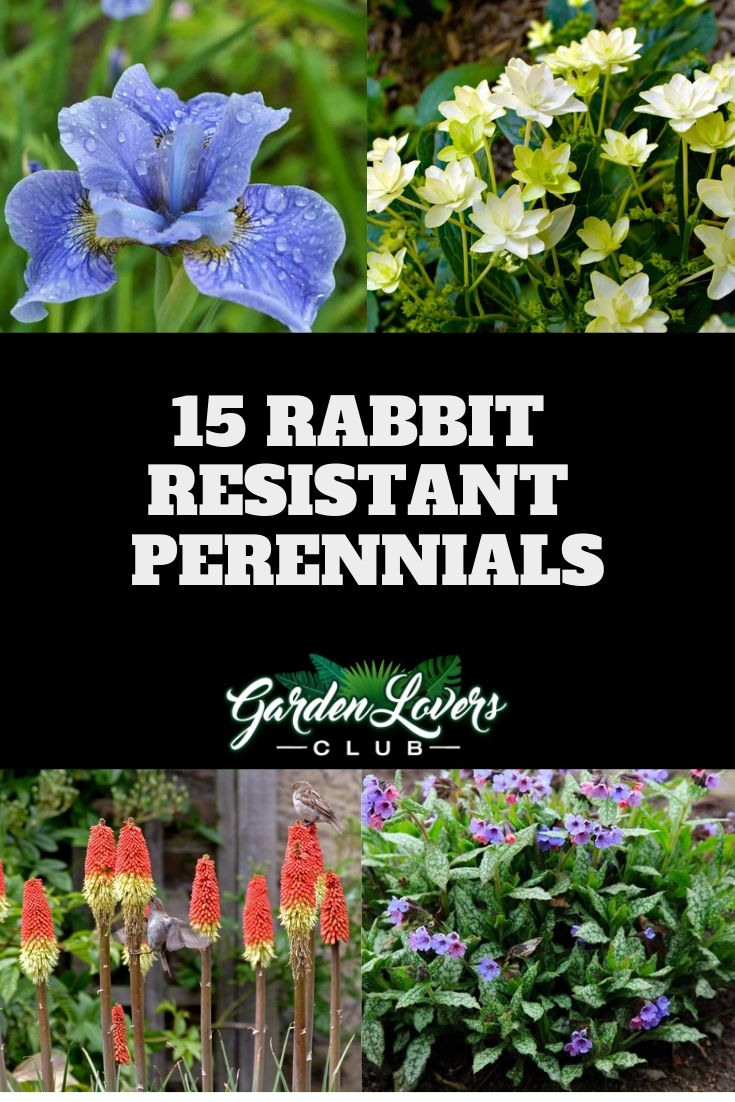 15 Rabbit Resistant Perennials Photos Deer Resistant Garden