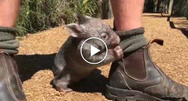 Baby Wombat Plays With His Favorite Human