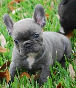 blue french bulldog puppy. Want!