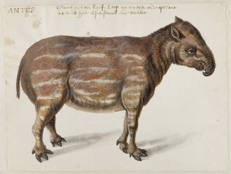 South American [Brazilian or Lowland] Tapir, Frans Post (1612–1680), watercolor and gouache, with pen and black ink, over graphite, c. 1638–44. Noord-Hollands Archief, Haarlem