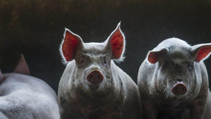 Segundo o Cepea, cotações podem baixar em janeiro com baixa de consumo de carne suína no verão