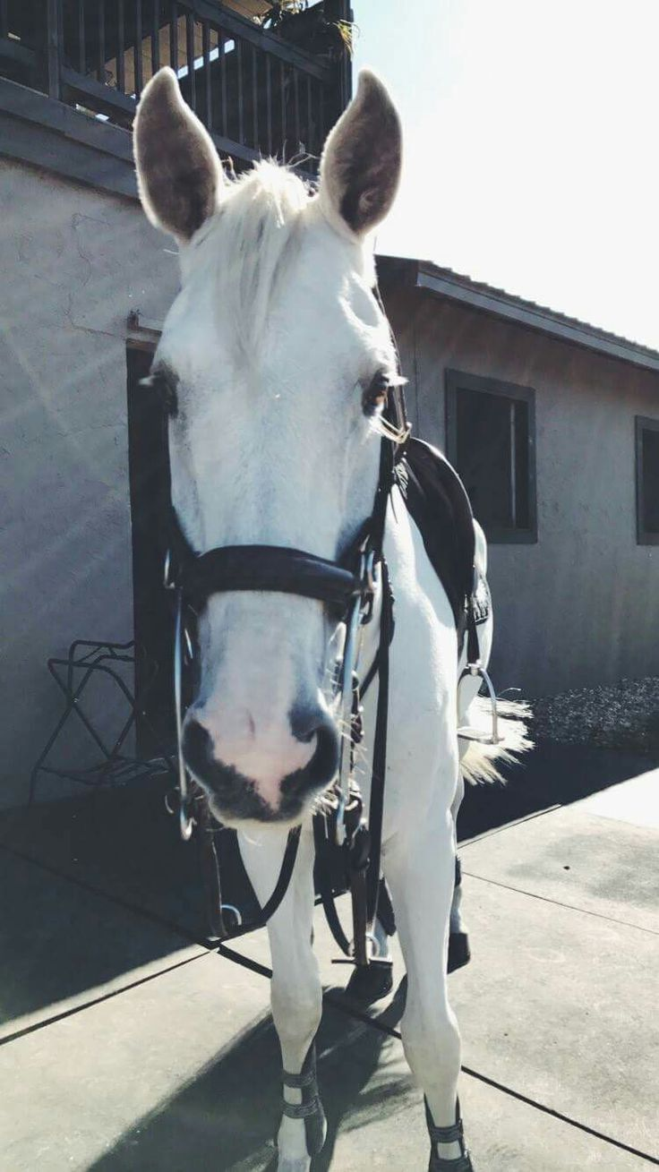 The First Orbit, four year old. Thoroughbred Gelding. Show jumping