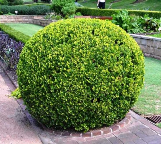 Japanese Boxwood buxus microphylla var. japonica Japanese boxwood, is a broadleaf evergreen shrub that is native to certain mountainous areas in Japan, primarily on the islands of Shikoku and Kyushu.
