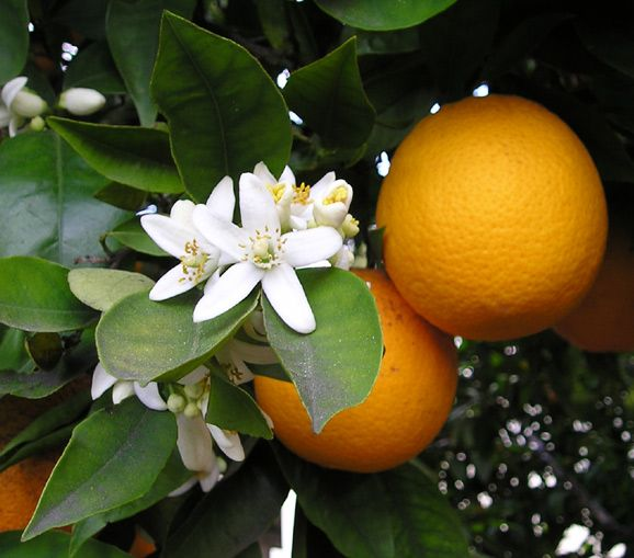 I've never seen my orange tree w/blossoms and fruit.  Maybe I'm doing something wrong.