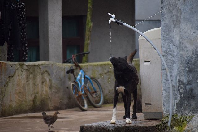 Summer is hot in China. Dog drinking and bird waiting its turn. Bijie China  https://www.facebook.com/ACTAsiaForAnimals https://twitter.com/Tweet_ACTAsia https://www.youtube.com/user/ACTAsia1 http://www.oninstagram.com/profile/actasia https://www.linkedin.com/company/actasia-for-animals http://actasia.tumblr.com/