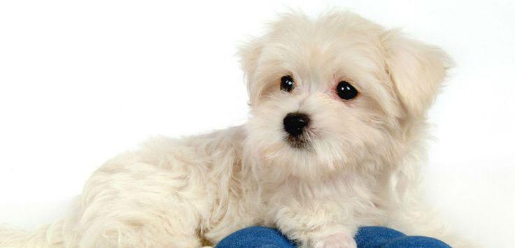 Síntomas frecuentes de la conjuntivitis en los perros - http://www.mundoperros.es/sintomas-frecuentes-de-la-conjuntivitis-en-los-perros/