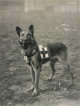Malinois (Perro de pastor belga) Entrenado por el Trabajo como un perro de la Cruz Roja Francesa Fotográfica lámina