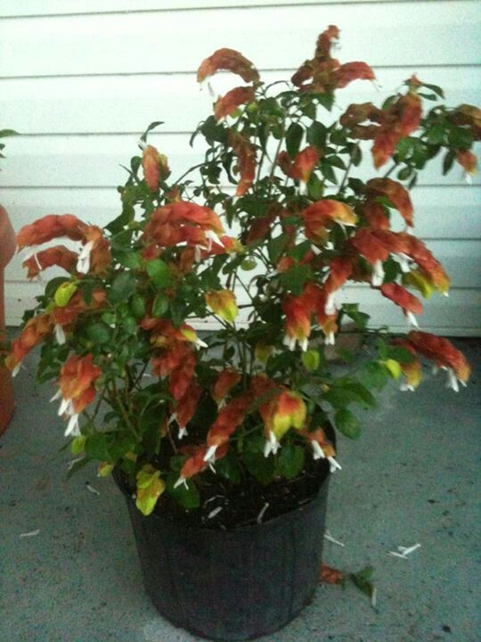 Shrimp plant--will always remind me of my Mema's house ...