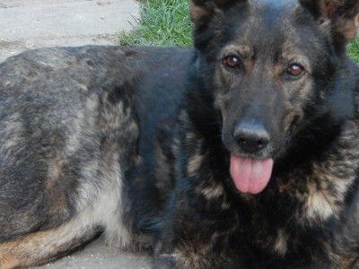 ZooZoo - Melcsi - kutya - német juhászkutya