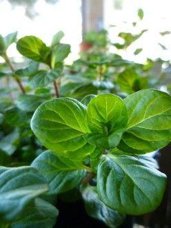 17 best images about house plant care on pinterest aloe - Variedades de aloe vera ...
