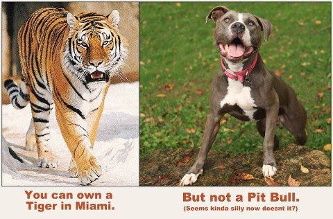 you can own a tiger but not a certain type of dog? What idiot created this law?: Big Cat, Pitt Bull, Dogs, Bull Terriers, Human Rights, Pitbull, Pit Bull, Tigers, Animal