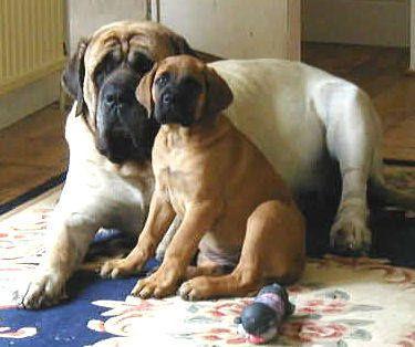 I would LOVE a mastiff pup :)
