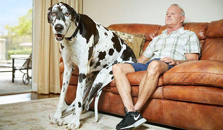 世界一の犬2017ギネス認定の背高女子はグレートデーン最長シッポは76.8 cm