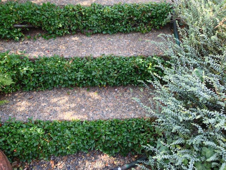 pruned bearberry cotoneaster edging steps garden inspiration blog alyse lansing garden design