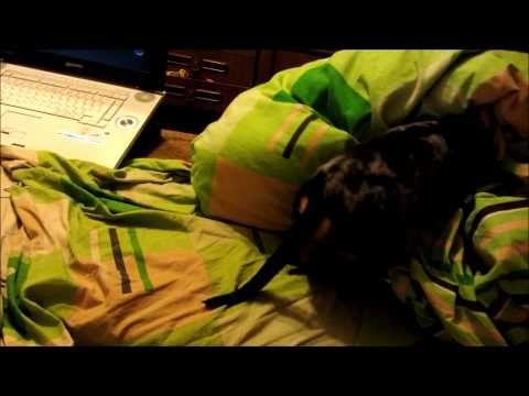 Такс Вуффи ложится спать! - YouTube