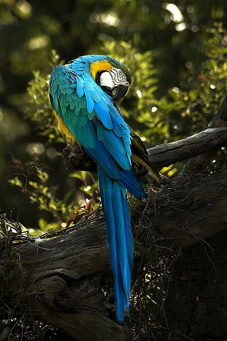 The blue and yellow Macaw is one of numerous species of birds native to Central and South America.
