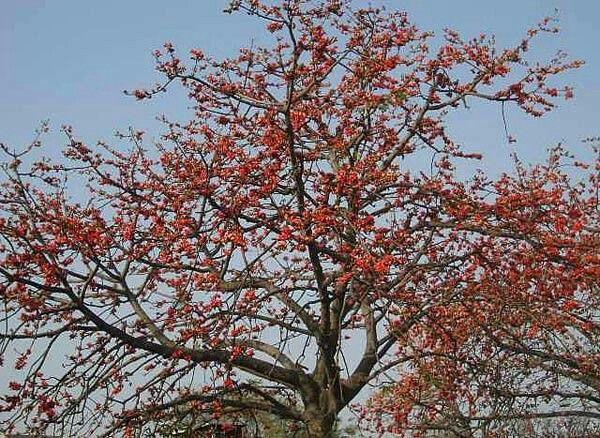 essay on sheesham tree