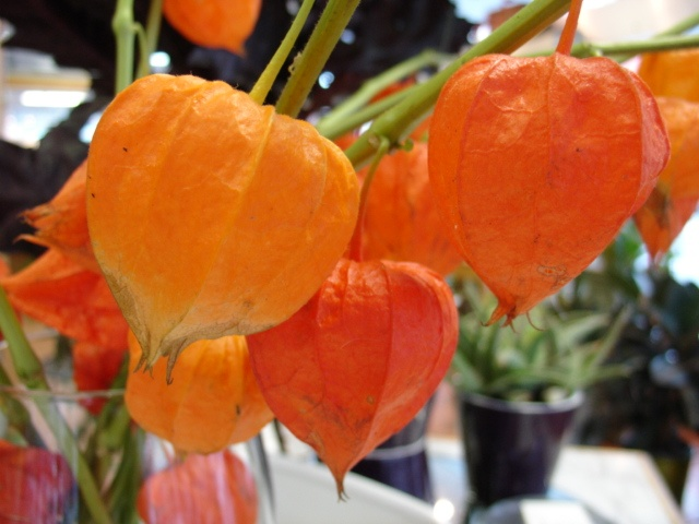 Physalis also known as Chinese Lanterns. www.scrimsflorist.com