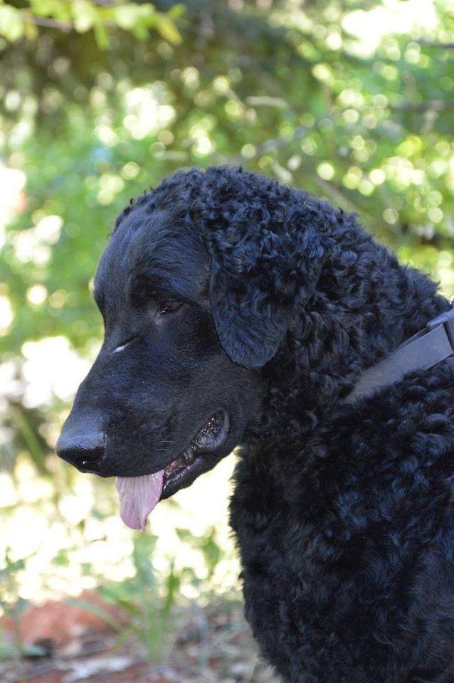 Curly Coated Retriever ~ Classic Look ~ Daybreak Curly-Coated Retrievers