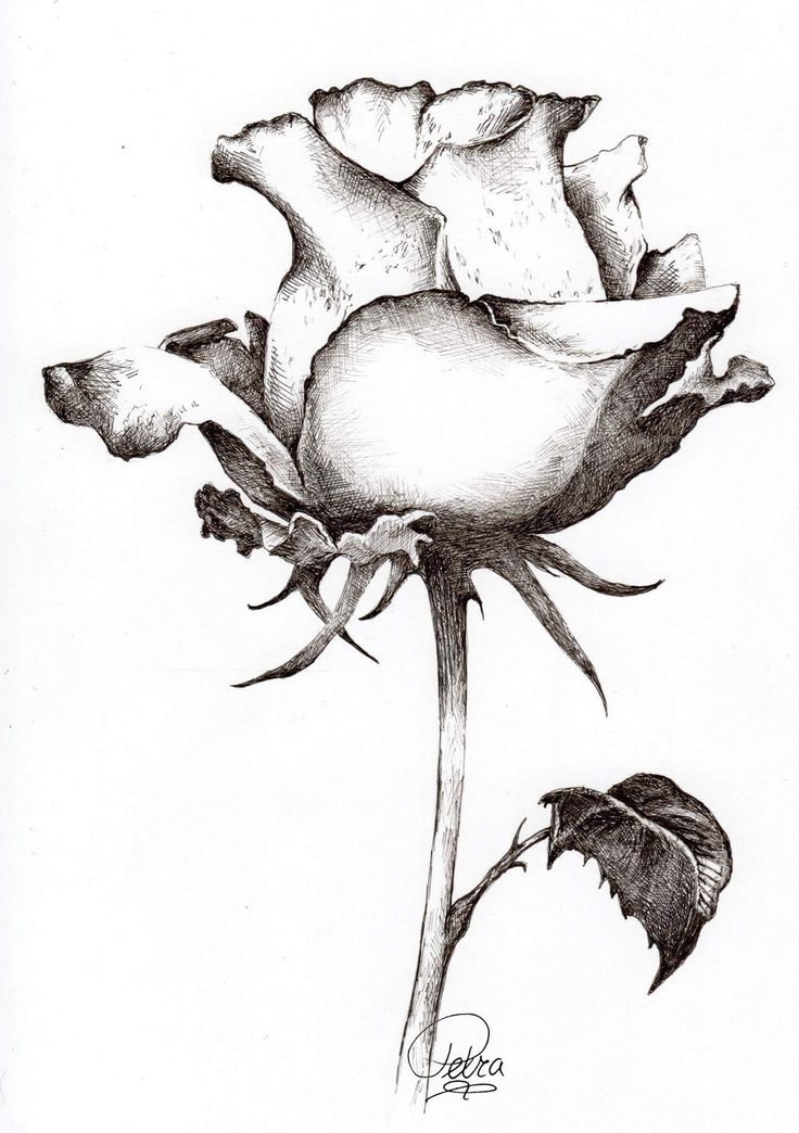 Find Roses This Style Flower Sketch Pencil Flower