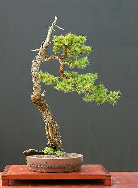 559 besten bonsai bilder auf pinterest bonsai pflanzen. Black Bedroom Furniture Sets. Home Design Ideas