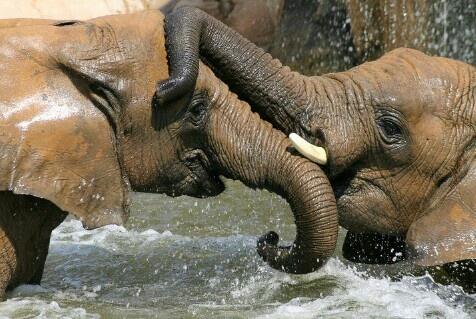 Animals' Love. Elephants. Wild. Nature.