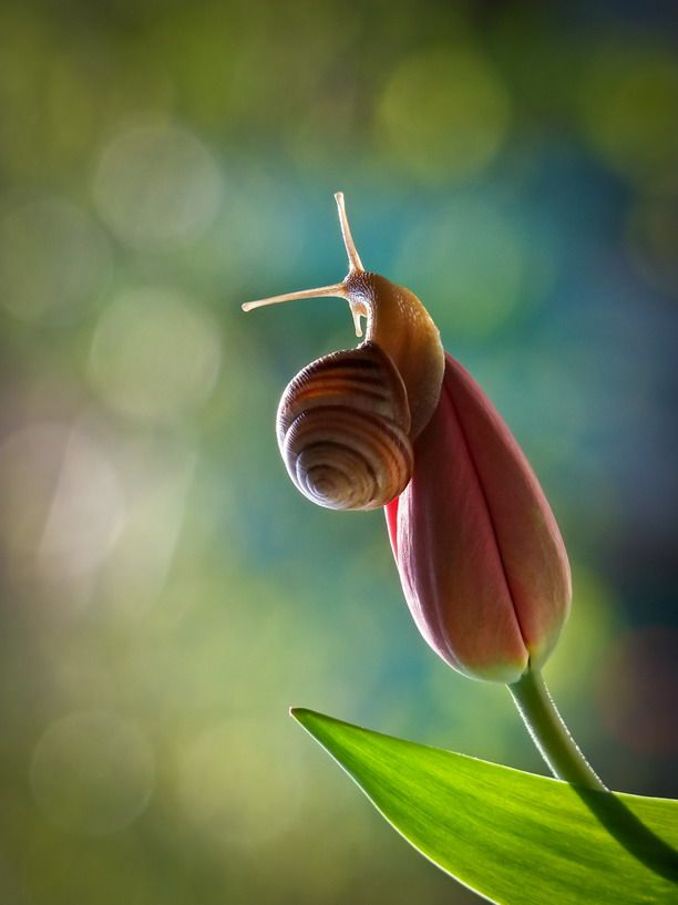 There is an elegance and beauty in this snail on a closed tulip.
