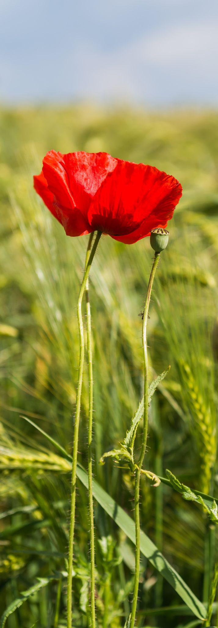 ~~last summer   Red Poppy   by Ulf Koepnick~~