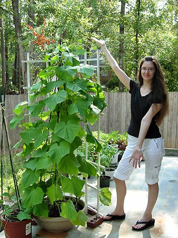 Cucumber plant  I am pinning this because of the trellis idea.
