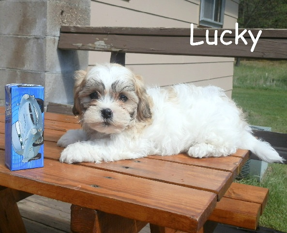 Teddy bear puppies for sale in Wisconsin! Tiny and teacup