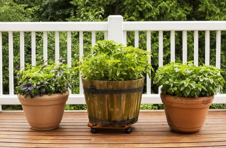 Ez az 5 fűszernövény szívesen dőzsöl dézsában   Hobbikert.hu