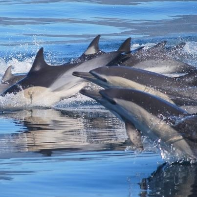 Dolphins in false bay near Simonstown, Cape Town, South AFrica