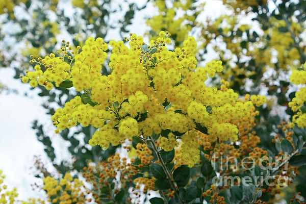 #Wattle Against #Winter #Sky by #Kaye_Menner #Photography Quality Prints Cards Products at: http://kaye-menner.pixels.com/featured/wattle-against-winter-sky-by-kaye-menner-kaye-menner.html